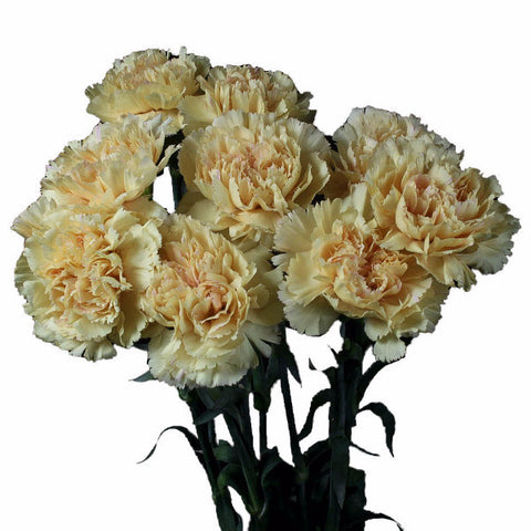 Cream Standard Carnations Wholesale, Fancy Grade (Pack of 150 stems)