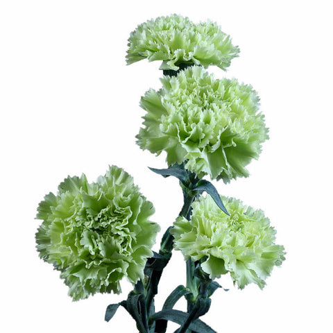 Fancy Green Standard Carnations Wholesale, Fancy Grade (Pack of 150 stems)