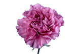 Lavender Standard Carnations Wholesale, Fancy Grade (Pack of 150 stems) - ifloral.com