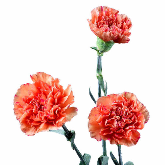 Orange Standard Carnations Wholesale, Fancy Grade (Pack of 150 stems) - ifloral.com
