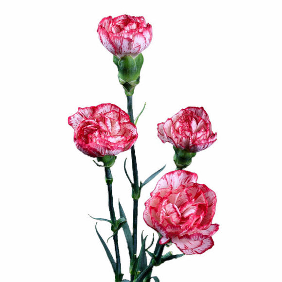 Peppermint Standard Carnations Bulk Quantity, Fancy Grade (Pack of 150 stems) - ifloral.com