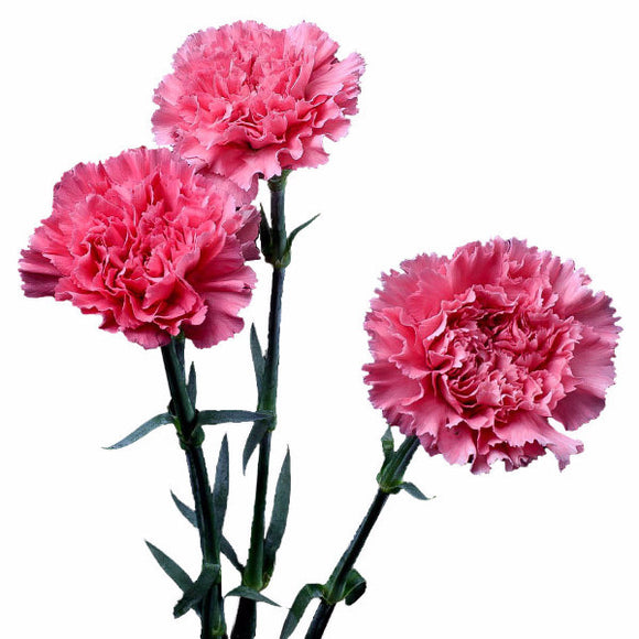 Pink Standard Carnations Bulk Quantity, Fancy Grade (Pack of 150 stems) - ifloral.com