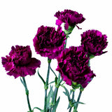 Purple Standard Carnations Bulk Quantity, Fancy Grade (Pack of 150 stems) - ifloral.com