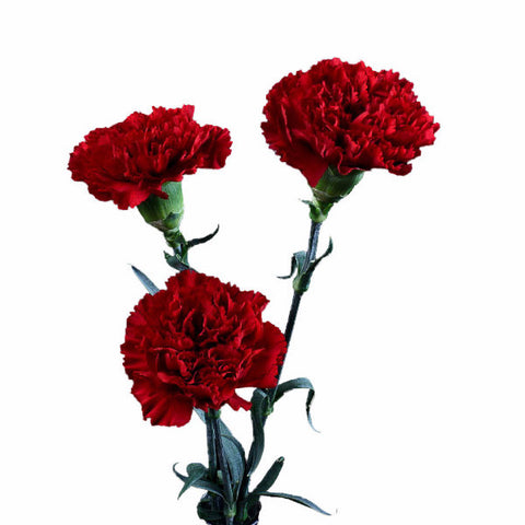 Red Carnations (standard) Bulk Quantity, Fancy Grade (Pack of 150 stems)