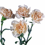 Peach Standard Carnations Bulk Quantity, Fancy Grade (Pack of 150 stems) - ifloral.com