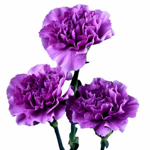 Moonaqua Light Lavender Standard Carnations Wholesale, Fancy Grade (Pack of 150 stems) - ifloral.com