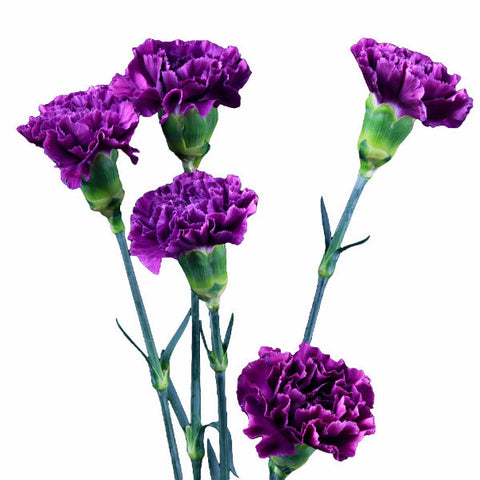 Moonshade Light Purple Standard Carnations Wholesale, Fancy Grade (Pack of 150 stems)