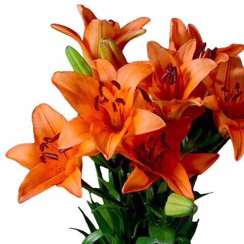 Orange Asiatic Lily's, Wholesale Sun Touched Collection (Pack of 80 stems)