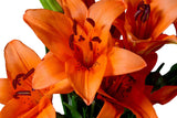 Orange Asiatic Lily's, Wholesale Sun Touched Collection (Pack of 80 stems) - ifloral.com