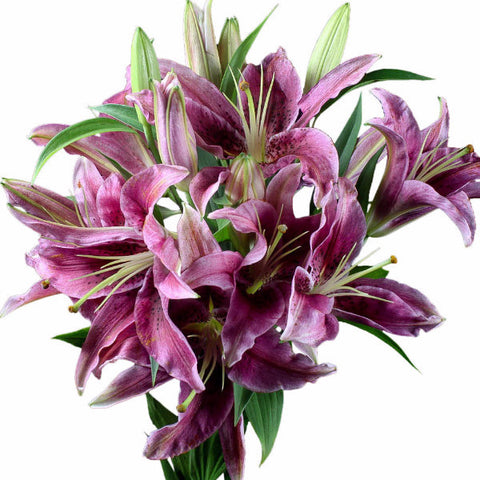 Montezuma Pink Asiatic Lily's, Wholesale Sun Touched Collection (Pack of 80 stems)
