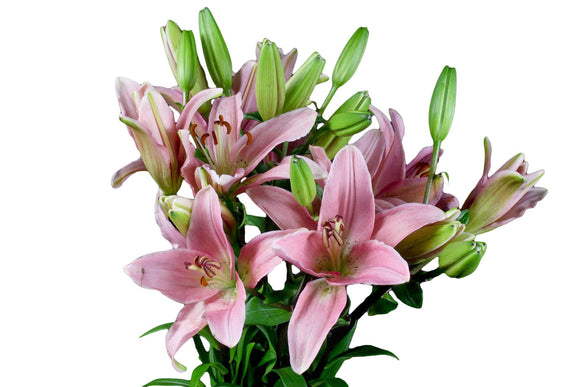 Pink Asiatic Lily's (Pack of 80 stems) - ifloral.com