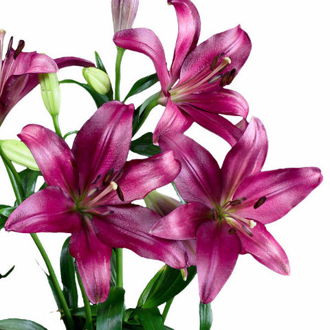 Red Asiatic Lily's (Pack of 80 stems)