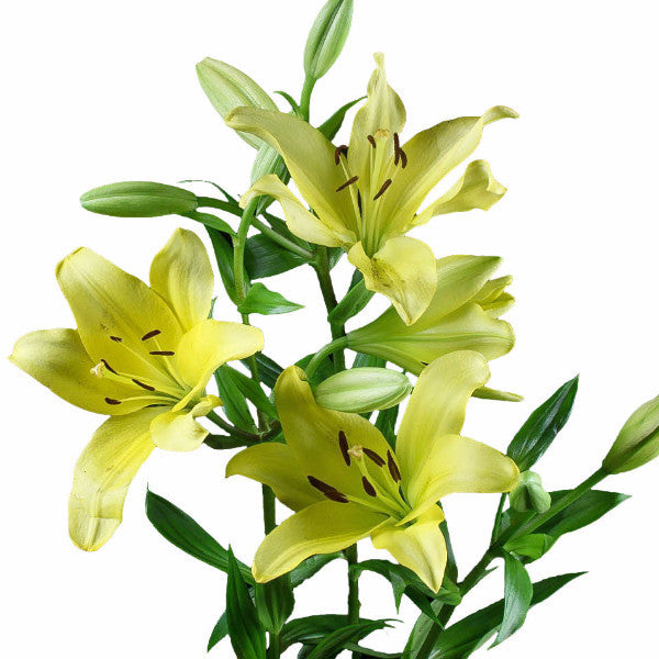 Yellow Asiatic Lily's (Pack of 80 stems) - ifloral.com