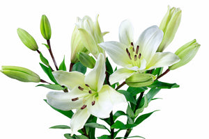 "White ""LA Hybrid"" Lily's (Pack of 80 stems) - ifloral.com"