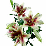 Shocking Yellow, Red Throat Oriental Lily's (Pack of 50 stems) - ifloral.com