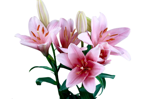 Acapulco Pink Oriental Lily's (Pack of 50 stems) - ifloral.com