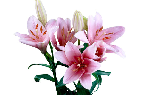 Acapulco Pink Oriental Lily's (Pack of 50 stems)