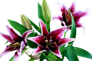 Corvara Red Oriental Lily's (Pack of 50 stems) - ifloral.com