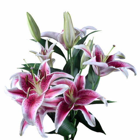 Starfighter Oriental Lily's (Pack of 50 stems)