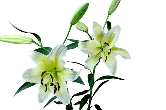 Concador Yellow Oriental Lily's (Pack of 50 stems) - ifloral.com
