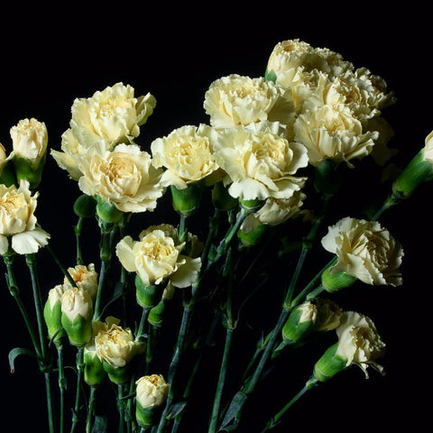 Cream Wholesale Mini Carnations (Pack of 150 stems)