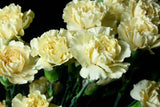 Cream Wholesale Mini Carnations (Pack of 150 stems) - ifloral.com