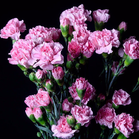 Light Pink Wholesale Mini Carnations (Pack of 120 stems)