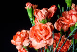 Orange Mini Carnations, Bulk Pack (Pack of 120 stems) - ifloral.com