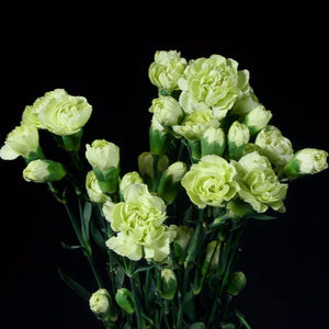 Green Wholesale Mini Carnations (Pack of 150 stems) - ifloral.com
