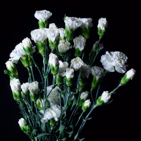 White Mini Carnations (Pack of 120 stems) - ifloral.com