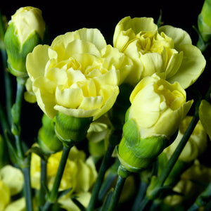 Yellow Mini Carnations, Bulk Pack (Pack of 120 stems) - ifloral.com