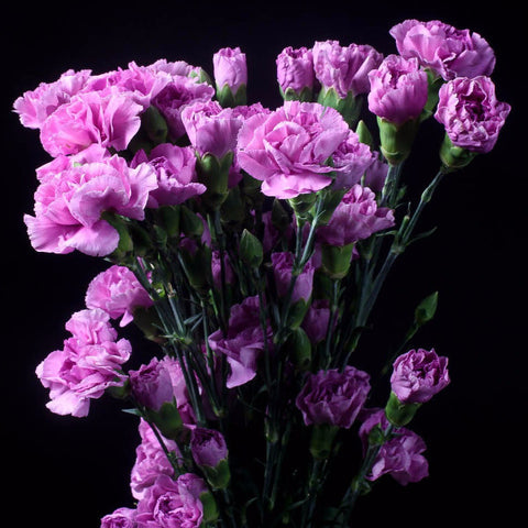 Lavender Wholesale Mini Carnations (Pack of 150 stems)