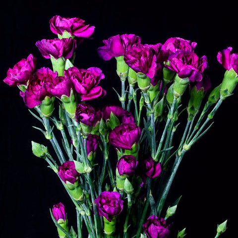 Purple Mini Carnations (Pack of 120 stems)