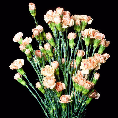 Peach Mini Carnations (Pack of 120 stems)