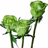 """Super Green"" Green Roses (Pack of 100 stems) - ifloral.com"