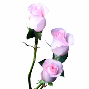 """Sweet Akito"" Light Pink Roses (Pack of 100 stems) - ifloral.com"