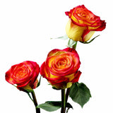 Circus Roses Bi-Color Yellow and Red (Pack of 100 stems) - ifloral.com