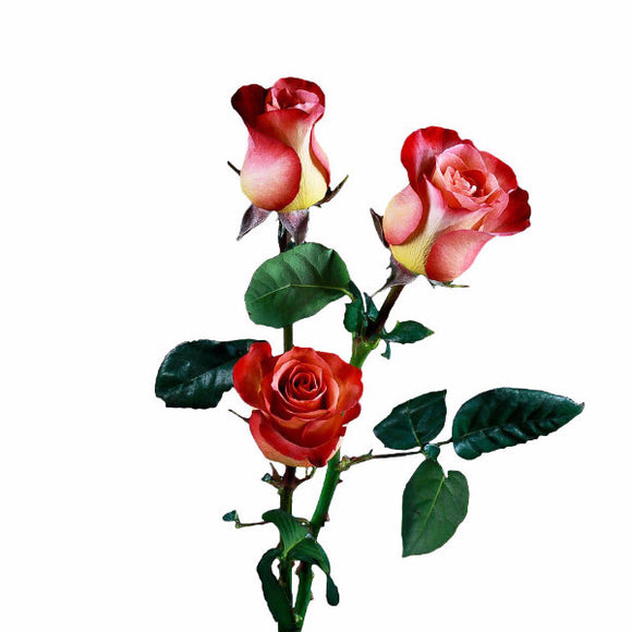 Coffee Break Roses Bi-Color Red and Orange (Pack of 100 stems) - ifloral.com