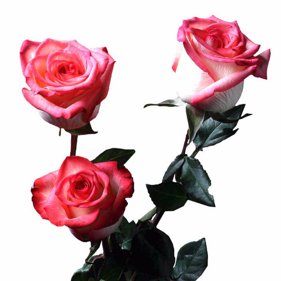 Blush Roses Bi-Color Pink w/ White (Pack of 100 stems) - ifloral.com