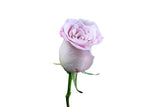 """Faith"" Dusty Pink Mauve,Pink Roses (Pack of 100 stems) - ifloral.com"