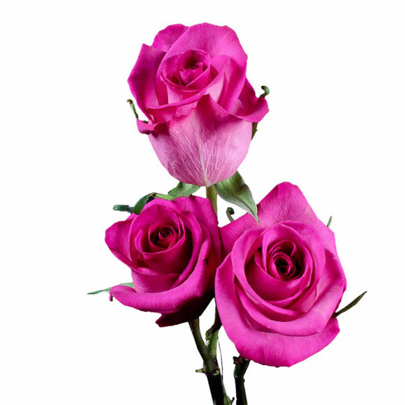 Purple Cezzane Fuchsia Roses (Pack of 100 stems) - ifloral.com