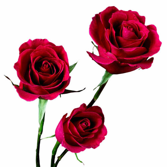 Hot Lady Roses, Fuchsia Color (Pack of 100 stems) - ifloral.com