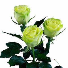 """Limbo"" Green Roses (Pack of 100 stems) - ifloral.com"