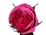 """Cherry Oh!"" Hot Pink Roses (Pack of 100 stems) - ifloral.com"