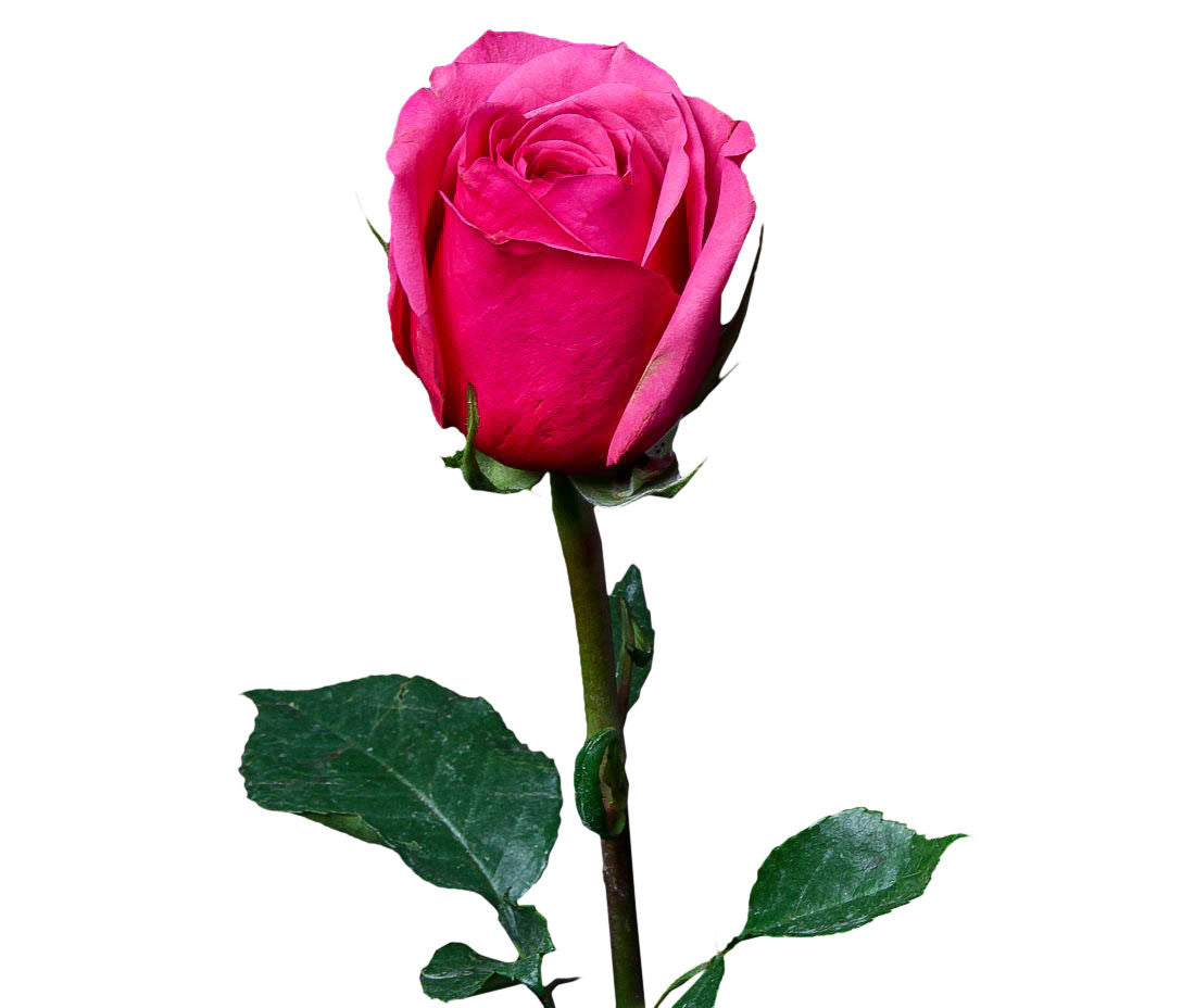 Cherry Oh Hot Pink Roses Pack Of 100 Stems Ifloral