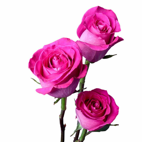 Pink roses ifloral topaz hot pink roses pack of 100 stems mightylinksfo