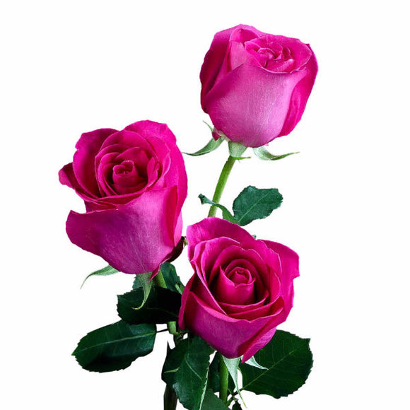 Ravel hot pink roses pack of 100 stems gorgeous ifloral customers who viewed this product also viewed mightylinksfo