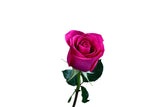 """Ravel"" Hot Pink Roses (Pack of 100 stems) - Gorgeous! - ifloral.com"
