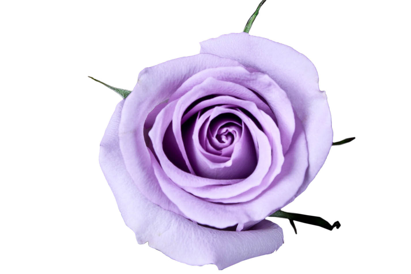 Quot Ocean Song Quot Lavender Roses Pack Of 100 Stems Ifloral Com