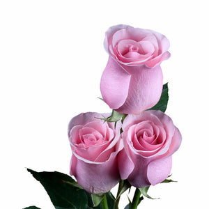 """Titanic"" Light Pink Roses (Pack of 100 stems) - ifloral.com"